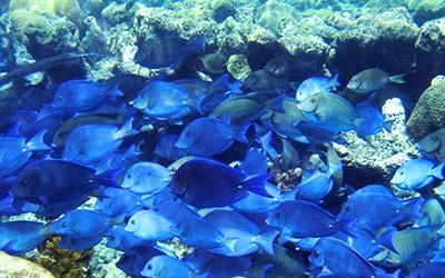 Snorkeling Blue Tang