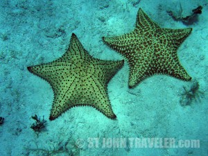 Snorkeling Giant Starfish