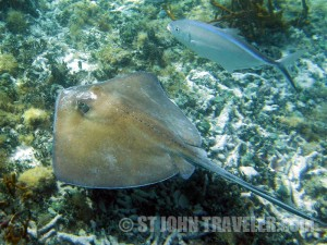 Snorkeling Stingray