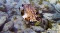 jost-bvi_trunkfish