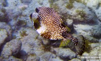 jost-bvi_trunkfish