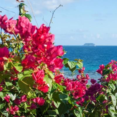 Island Bougainvillea, Marina Cay