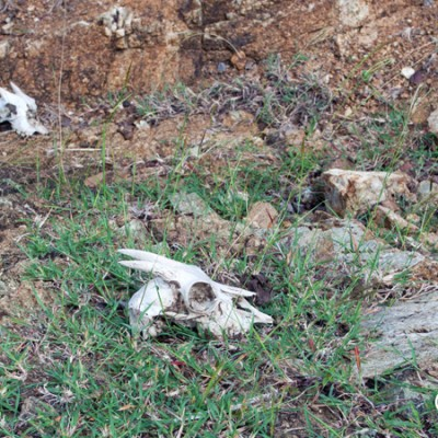 Goat skulls on the summit trail. Is the hike safe...? Jost van Dyke, BVI